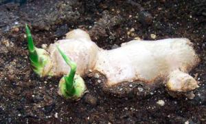 coltivare-zenzero-in-vaso