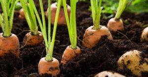 coltivazione carote_orto