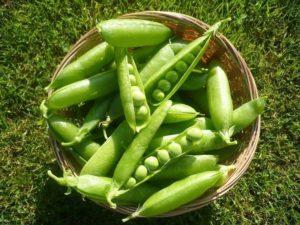 coltivazione-piselli