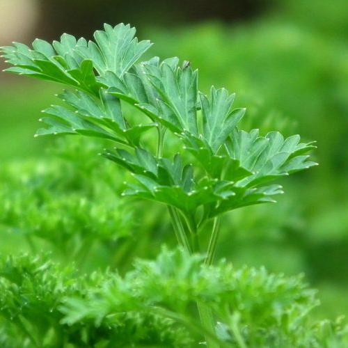 prezzemolo verde coltivato nell'orto