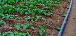 impianti-di-irrigazione-a-goccia