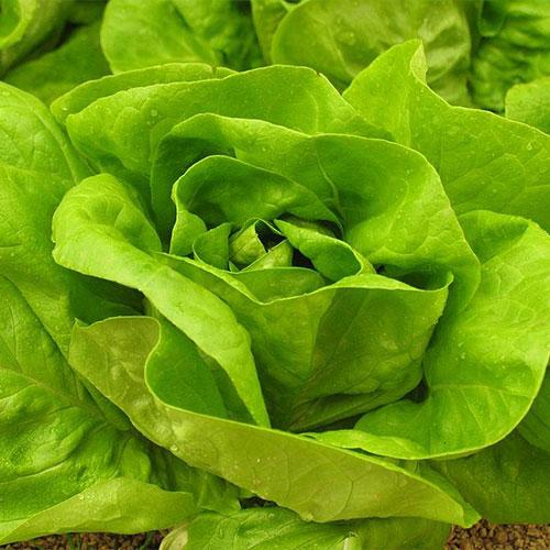 lattuga verde aperta - le guide di come fare orto