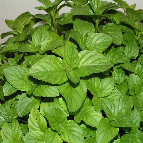 una pianta di menta con foglie verdi - come coltivare la menta