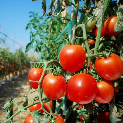 pomodorini ciliegino attaccati all'albero - guida di come coltivare il pomodoro