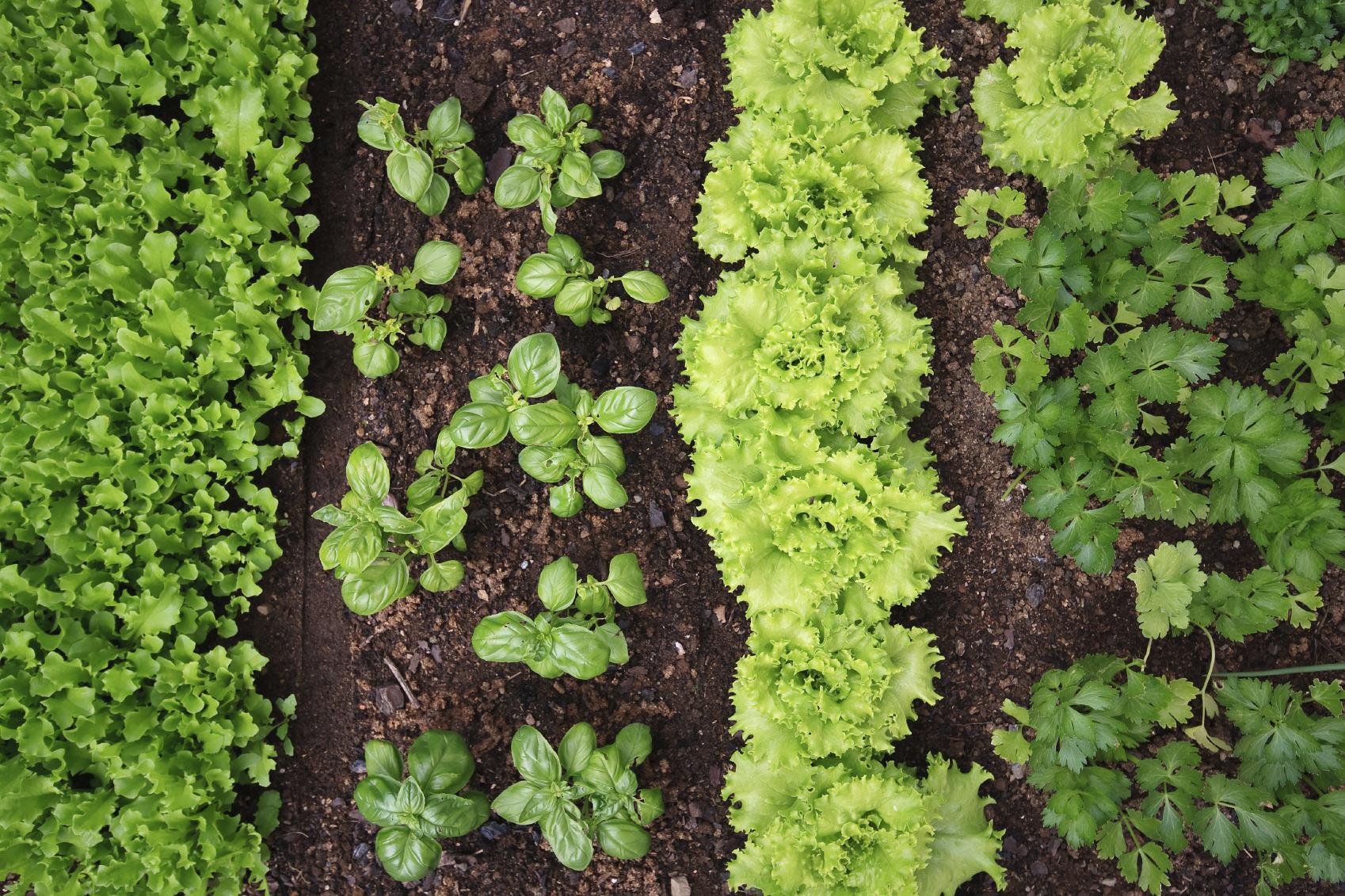 come fare orto con quattro tipi di piante verdi