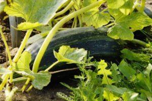 zucchino-coltivazione