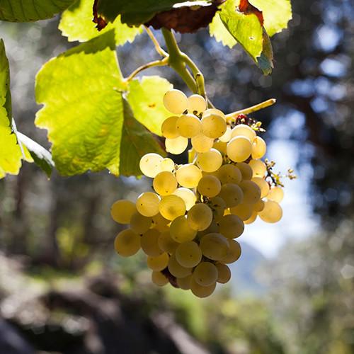 Pianta di vite in vaso pianta di uva vite innestata da tavola fragola bianca in vaso cm foto - Coltivare uva da tavola in vaso ...