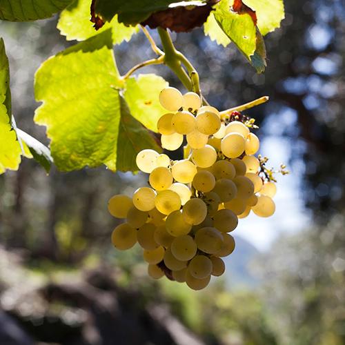come-coltivare-uva-bianca