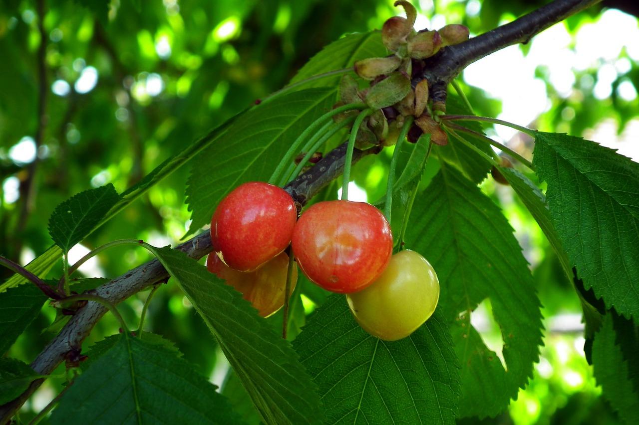 Coltivare ciliegie dolci e amare trapianto come fare orto for Coltivare more in vaso