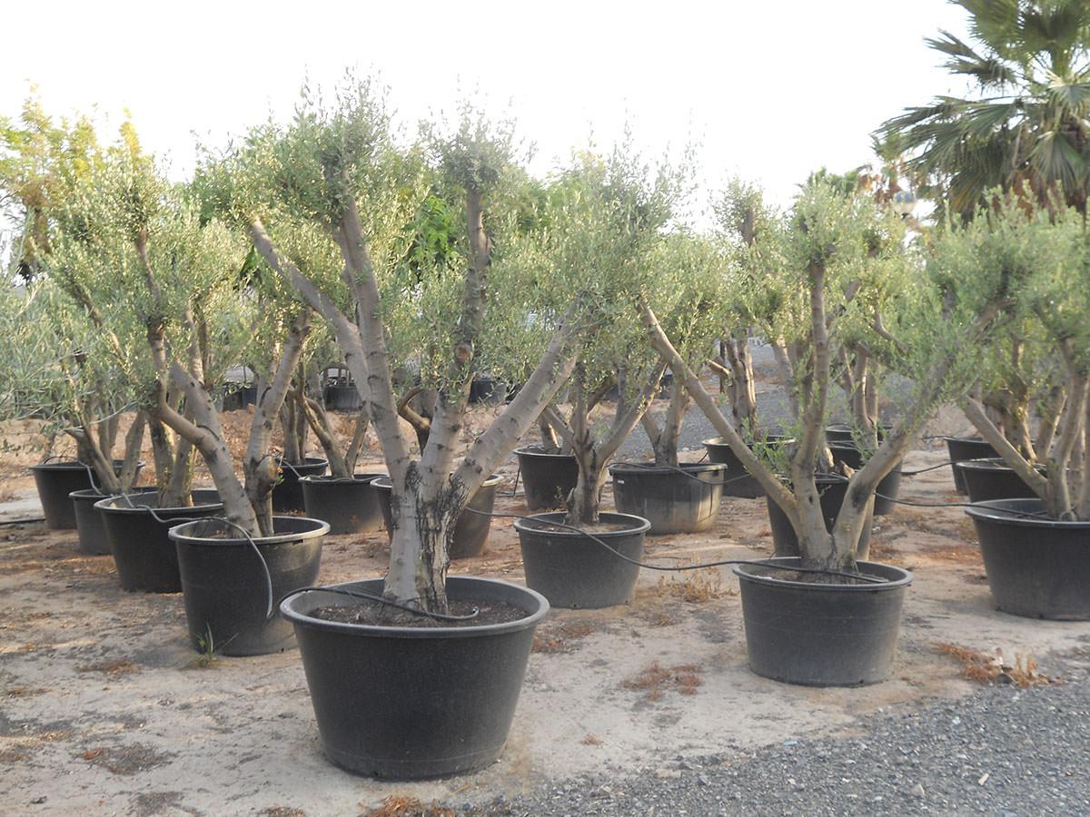 Piante di ulivi in vaso come fare orto for Coltivare more in vaso