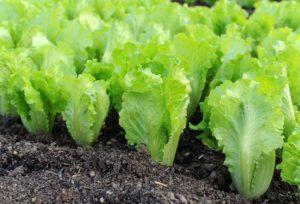 coltivazione-lattuga