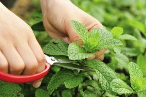 come-coltivare-menta-vaso-giardino