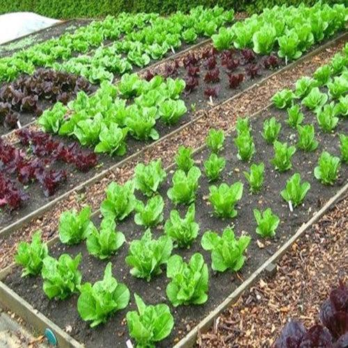 lattuga e coltivazione nell'orto