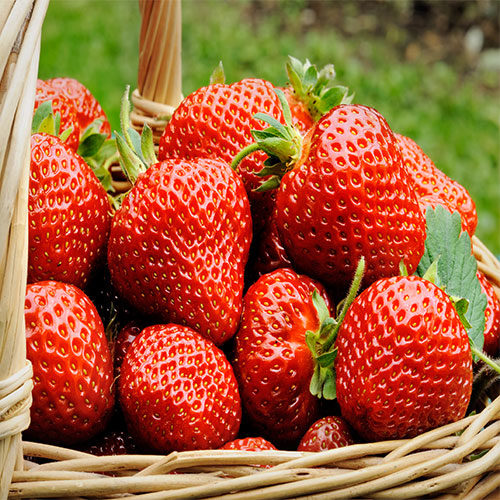 tante fragole rosse - come coltivare le fragole