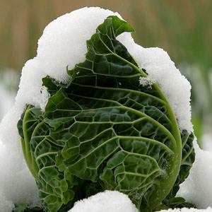lattuga piena di neve