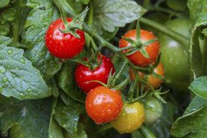 pomodori-coltivazione-vaso-orto