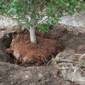trapianto-alberi da frutto
