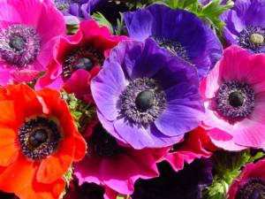 anemone_significato