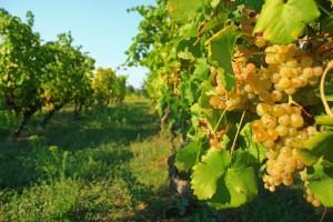 come coltivare uva_bianca_vigna
