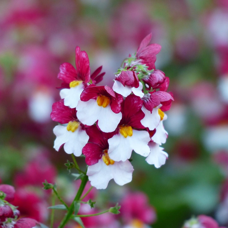 coltivare nemisia fiore