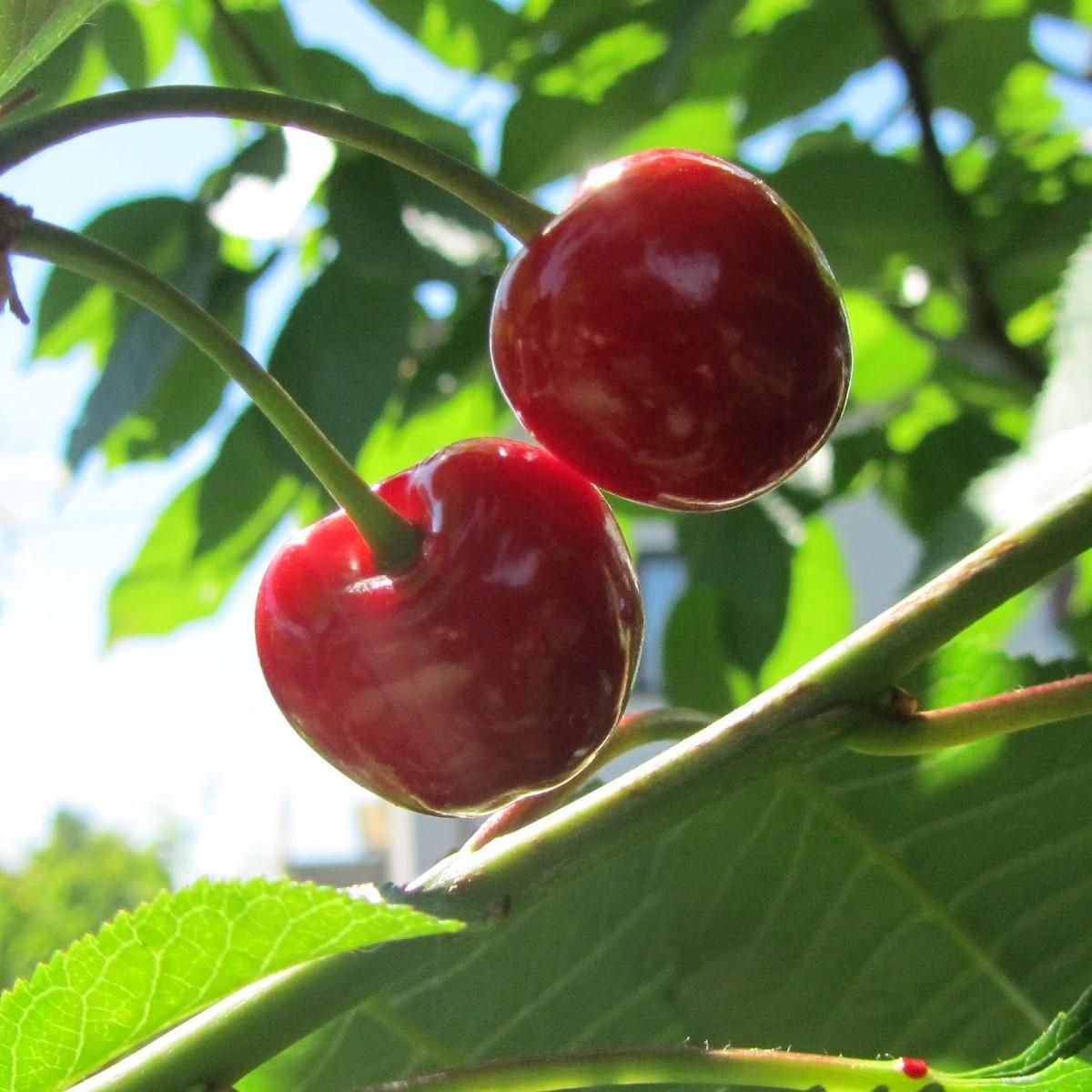 coltivare ciliegio dolce