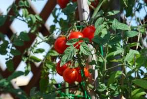 cascata pomodori
